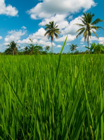 Rice field and coconut palms at background, Bali, Indonesia. photo