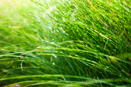 Close-up of many green grass blades as a background Stock Photo