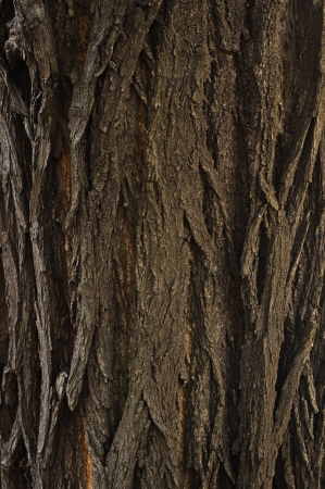 Bark of oak tree textured surface with small details