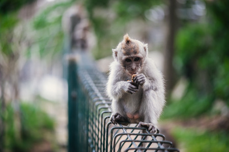 Long-tailed macaque (Macaca fascicularis) in Sacred Monkey Forest, Ubud, Indonesia photo