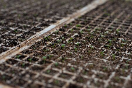 young green sprouts in separate cells, professional flower breeding