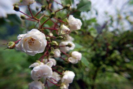 rubella: white roses