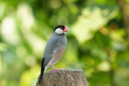 Java Sparrow Bird