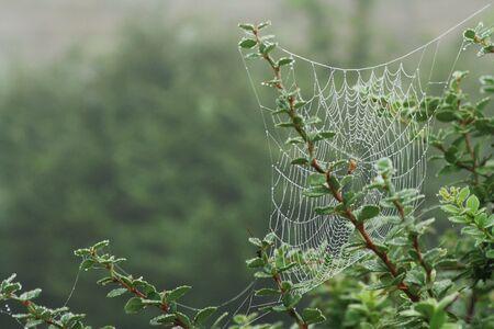 SpiderWeb in Bush