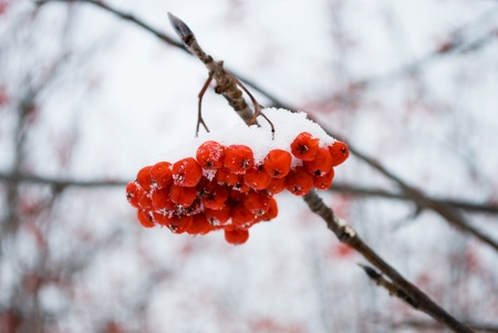frostily: wild ash in to snow