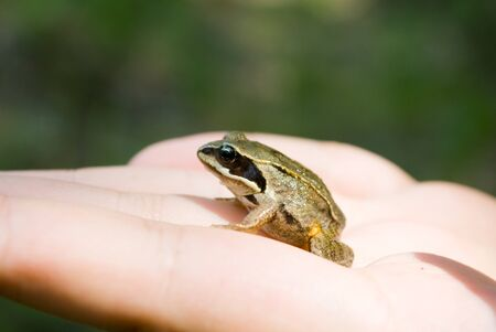 frog on a hand on a background nature Stock Photo - 10171870