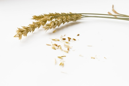 ear buds: ears and grain on white background