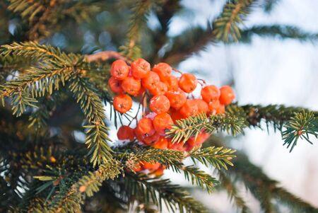 frostily: berry Stock Photo