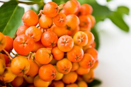 frostily: rowanberries Stock Photo