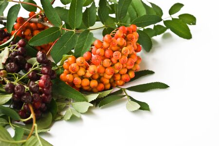 frostily: wild ash, rowanberries on a white background