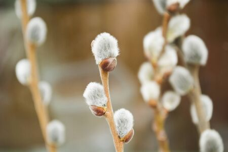 pussy-willow photo