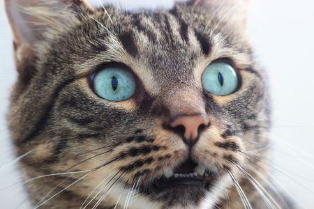 portrait of beautiful siberian shorthair cat closeup photo