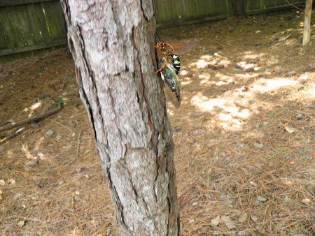 The Cicada Proves to be too Heavy for the Wasp to Fly with, So She Decided to Walk up on a Tree.