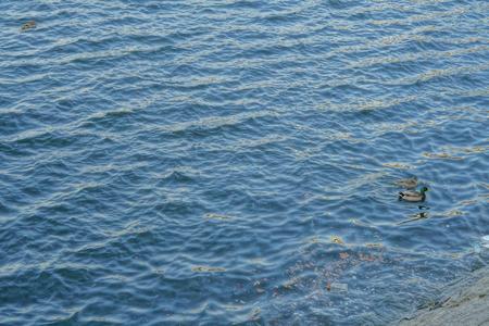 Ducks in the river