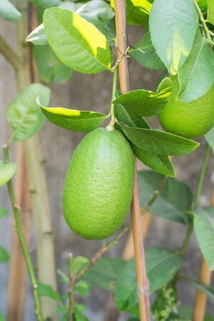 lemon tree: Close up de �rbol de lim�n con un lim�n y hojas