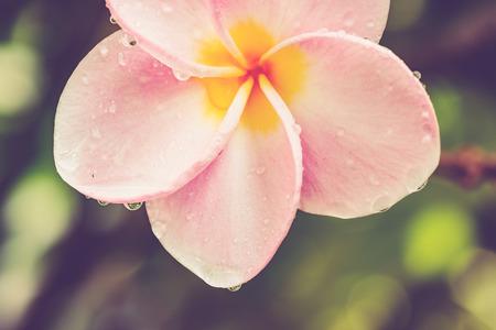 ビンテージ トーン: 背景のピンクのプルメリアの花