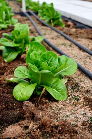 butter head: Fresh Green Cos Lettuce Butter Head in farm Stock Photo