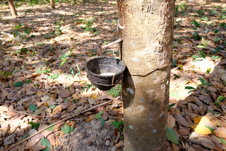 extracted: Close up of Milky latex extracted from rubber tree