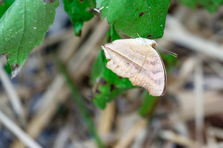 dead leaf: Dead Leaf Butterfly (Kallima inachus) Stock Photo