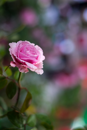 Pink blooming rose for background