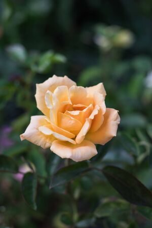 Orange blooming rose for background