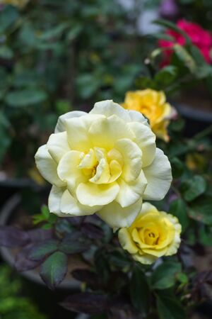 Yellow blooming rose for background