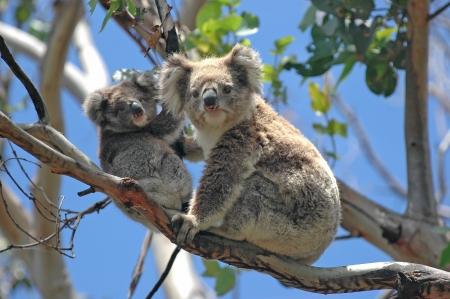 Los koalas salvajes a lo largo de Great Ocean Road, Victoria, Australia Foto de archivo