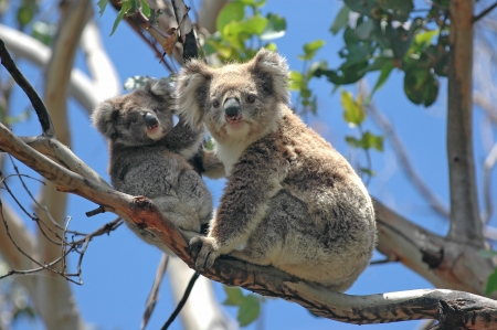 Wild Koalas along Great Ocean Road, Victoria, Australia photo