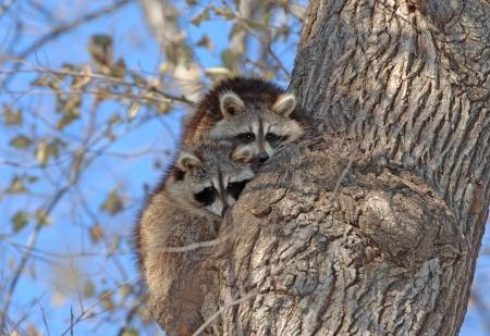 Pair of Raccoons in Tree