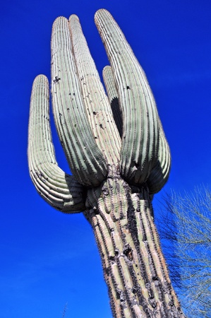 Saguaro Cactus, Arizona photo