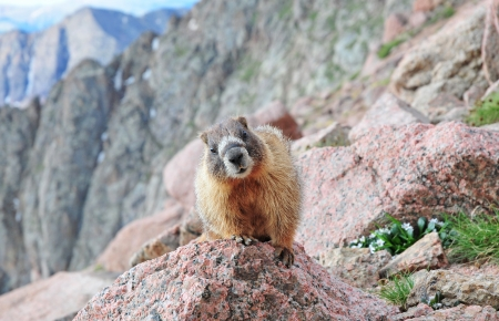 Marmot on Rock photo