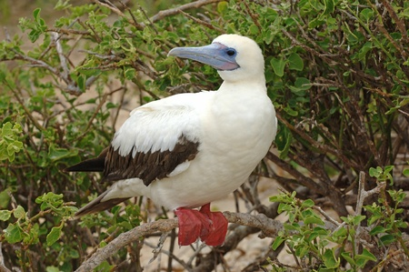 booby: Red Footed Booby, Galapagos Islands