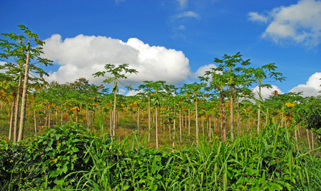 Papaya Trees, Costa Rica photo