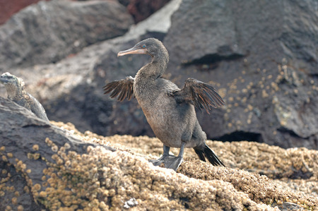 Flightless Cormorant, Galapagos Islands, Ecuador  photo