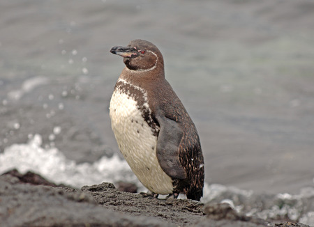 Galapagos Penguin, Galapagos Islands, Ecuador  photo