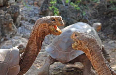 Galapagos Tortoise Pair in Ritual Communication, Galapagos Islands, Ecuador  Stock fotó