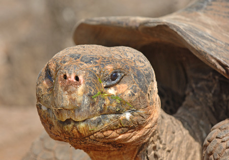 Galapagos Tortoise, Galapagos Islands, Ecuador  photo