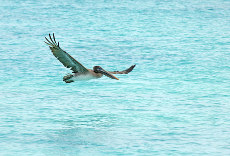 Pelican flying, Galapagos Islands, Ecuador  photo