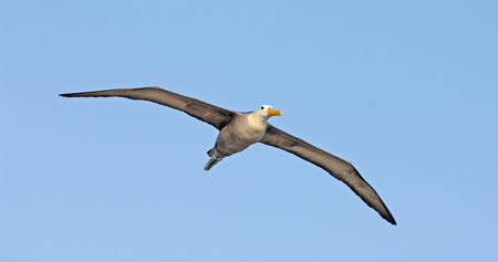 Waved Albatross, Galapagos Islands, Ecuador  photo