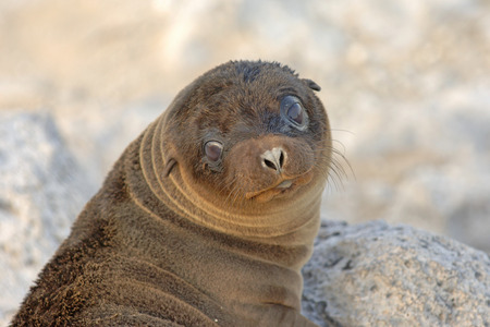 hms: Baby Galapagos Sea Lion, Galapagos Islands  Stock Photo