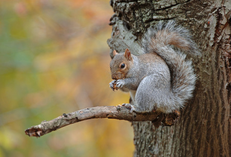 carolinensis: Squirrel in Tree in Autumn