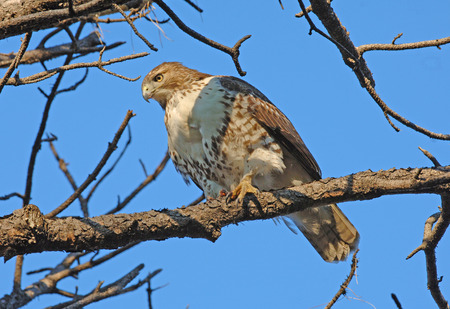 pigeon owl: Red Tailed Hawk Stock Photo