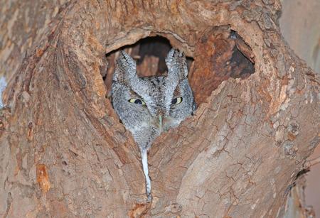 bird eating raptors: Screech Owl, Grey Phase Stock Photo