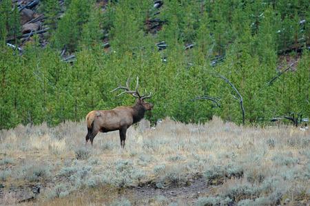 rocky mountains: Bull Elk, Rocky Mountains, Verenigde Staten Stockfoto