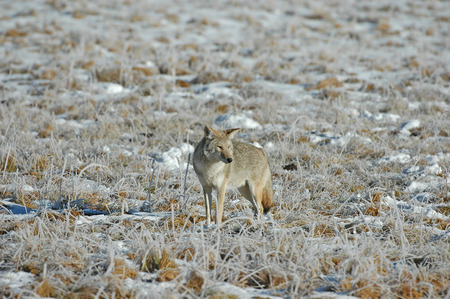 Coyote isolated, USA photo