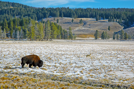 Bison and Coyote, Rocky Mountains, USA photo