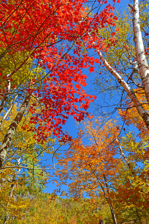 Autumn Foliage  Fall Color in Forest  Stock Photo