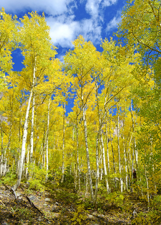 Autumn Foliage with Golden Yellow Aspen Stock Photo - 28515843