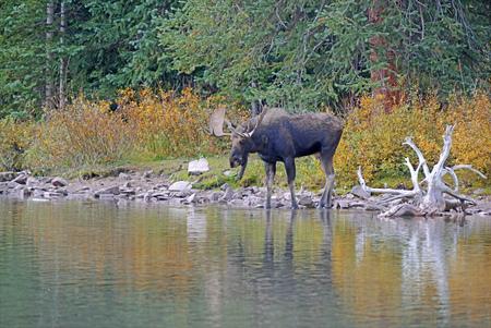 moose hunting: Moose near lake in autumn