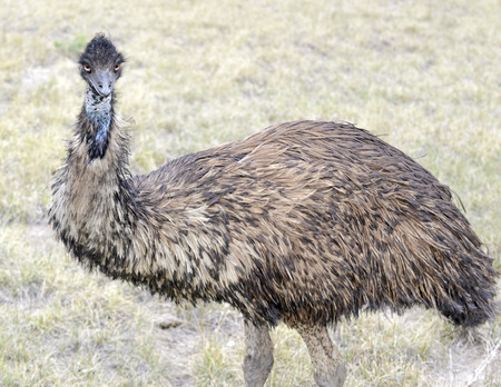 Emu, isolated in rural setting photo